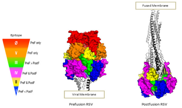 The structure of the F glycoprotein of RSV in the prefusion and postfusion conformation (Image courtesy of Enrico Malito)